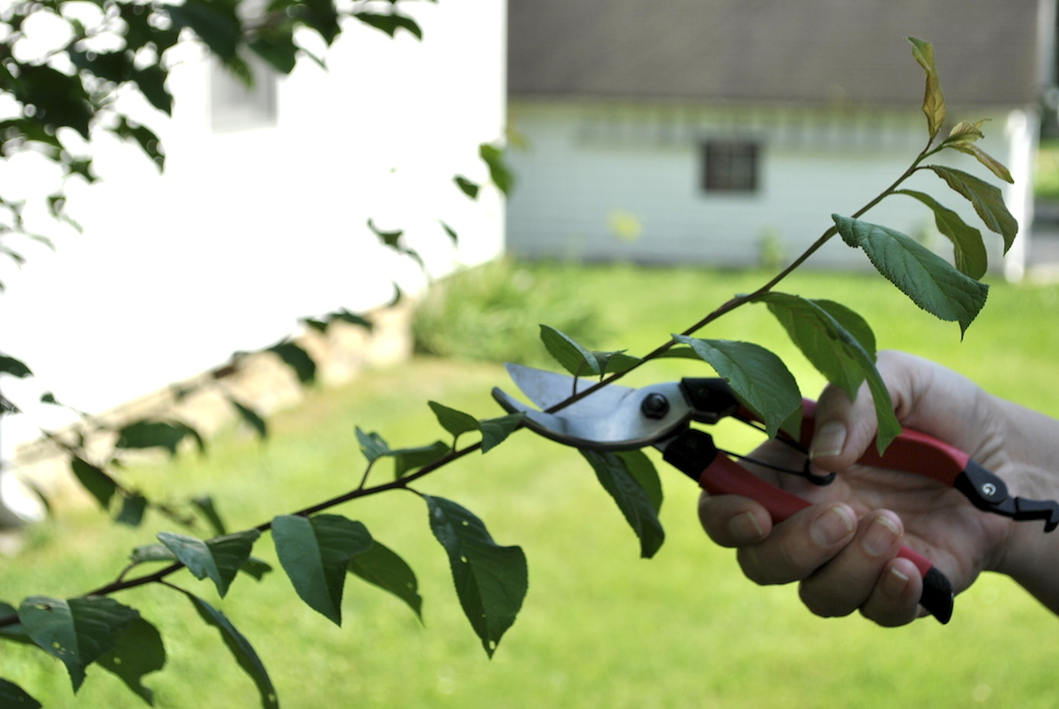 Summer Pinching: Before Pruning Cut