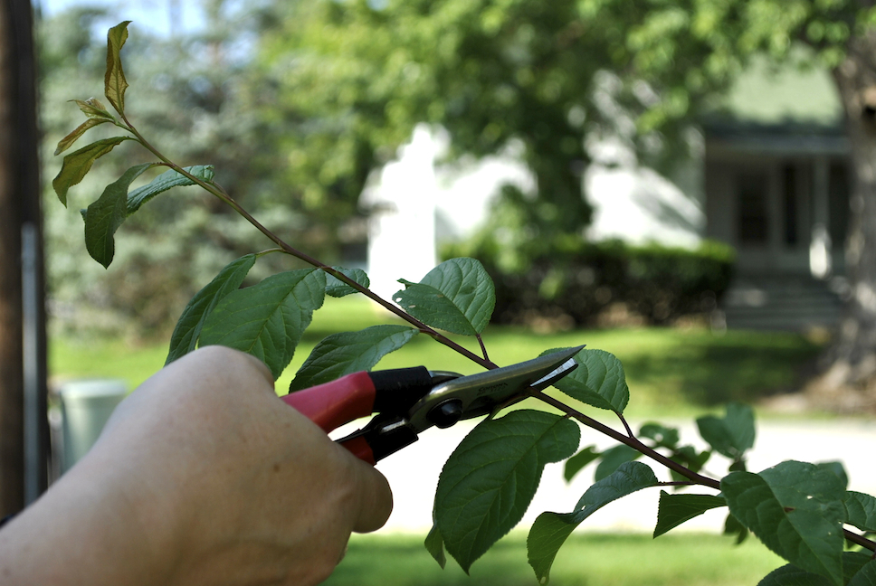 Summer Trees Fruit Pruning of Fruit Trees Has