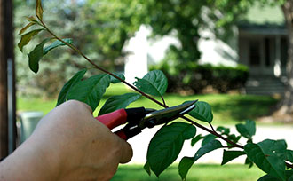Fruit Tree Care: Summer Pruning