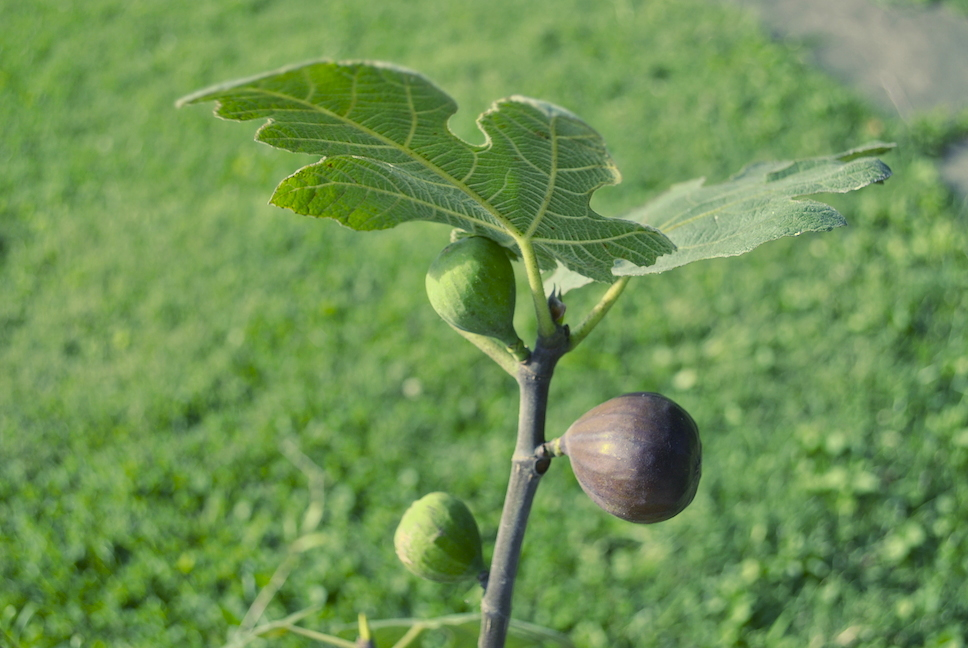 Chicago Hardy Figs Ripening on Tree