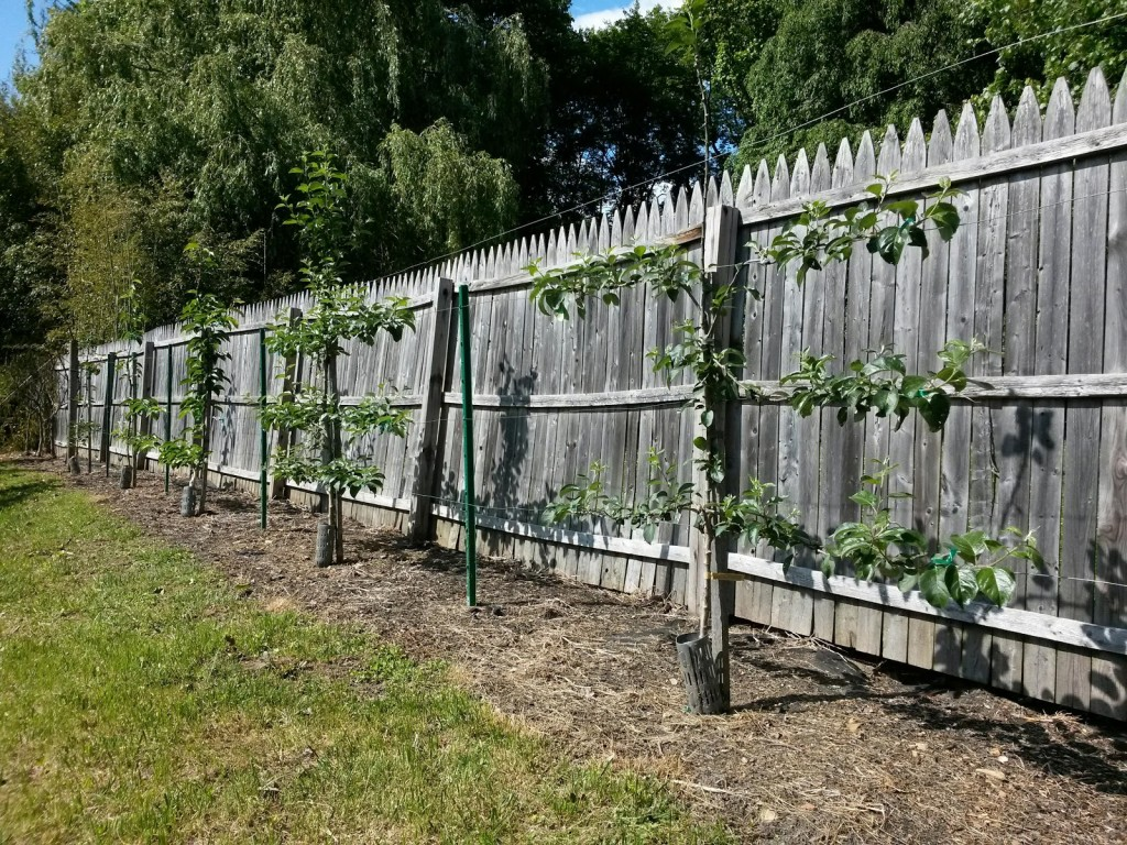 Apple Espalier Y2 Timoti B.