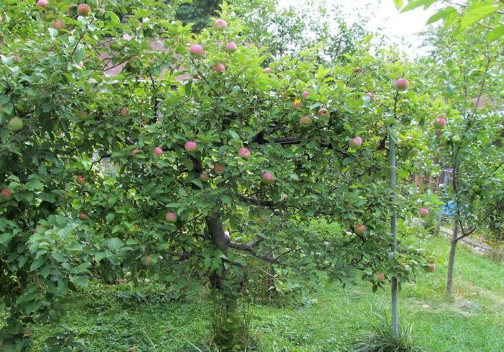 Mature Apple Espalier by Michael M.
