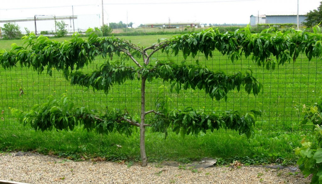 Espaliered Peach Tree via D Reyne