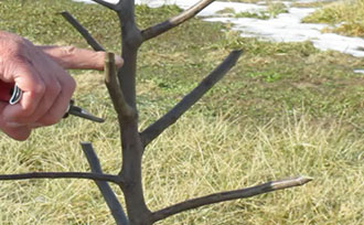Pruning Fruit Trees: Central Leader