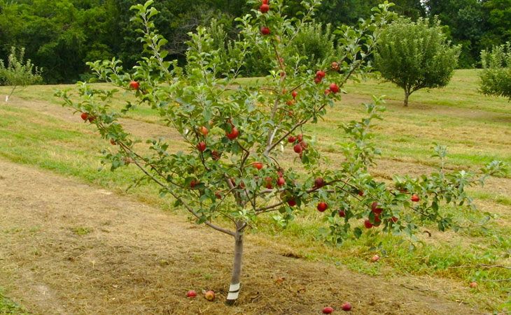 apple tree growing images