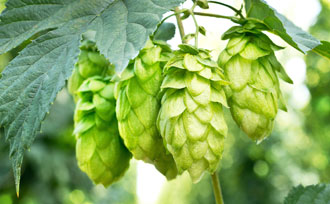 8 Questions & Answers All About Hops