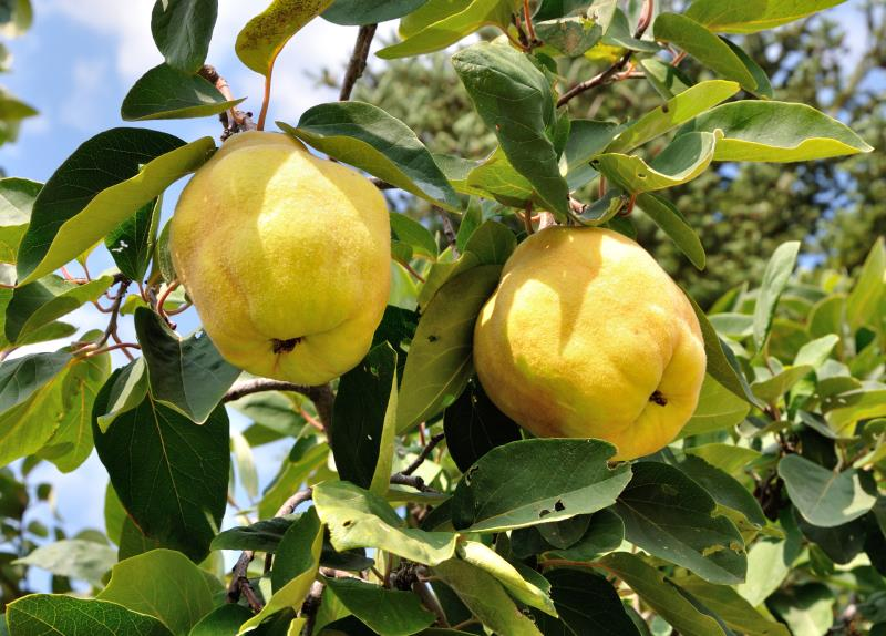quince-trees