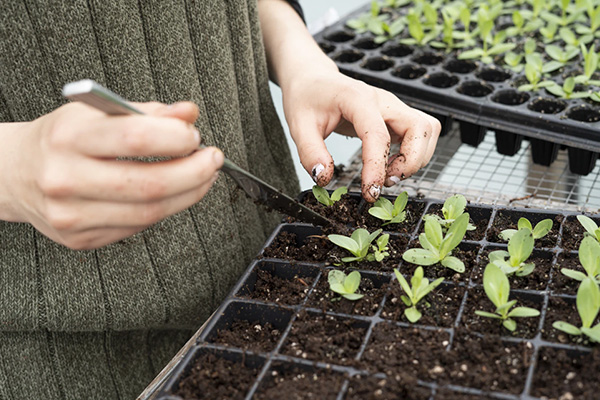 Person putting small seedlings into a growing tray