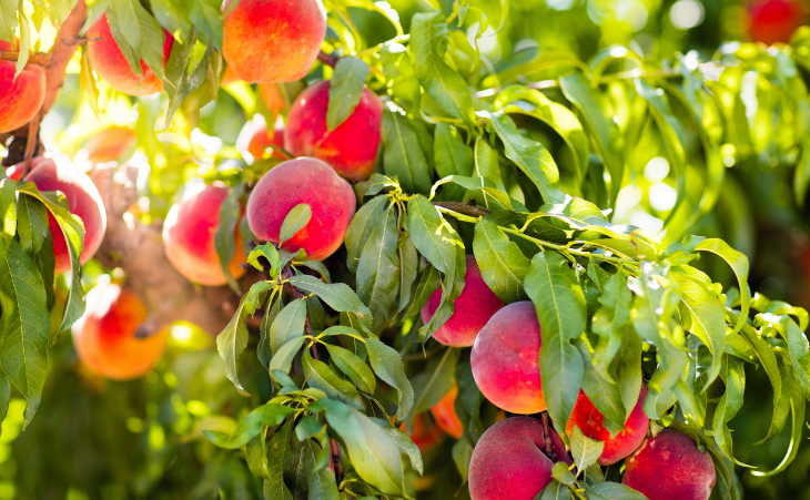 fruit tree with lots of fruit
