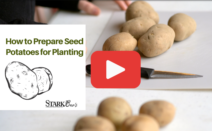 Video Thumbnail - Showing seed potatoes on a table ready to be cut