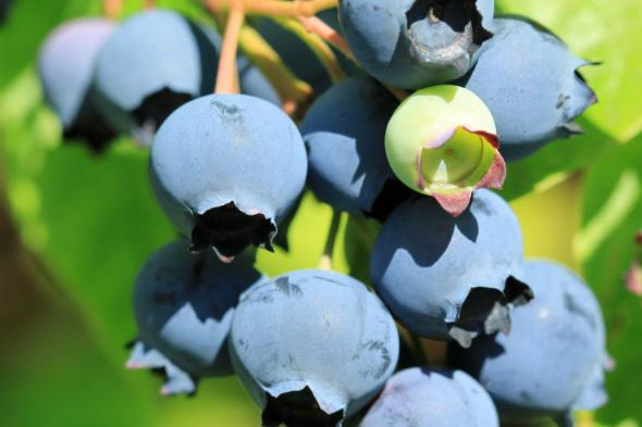 blueberry berries on plant