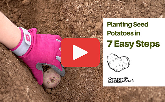 planting seed potato in trench with text that reads Planting Seed Potatoes in 7 Easy Steps