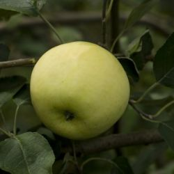 Photo of Yellow Transparent Apple