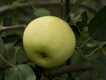 Yellow Transparent Apple