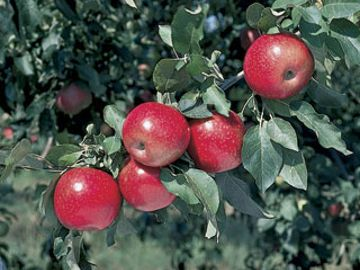 Stark® Crimson Spire® Apple