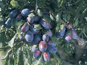 Stark® Blue Ribbon™ Prune-Plum