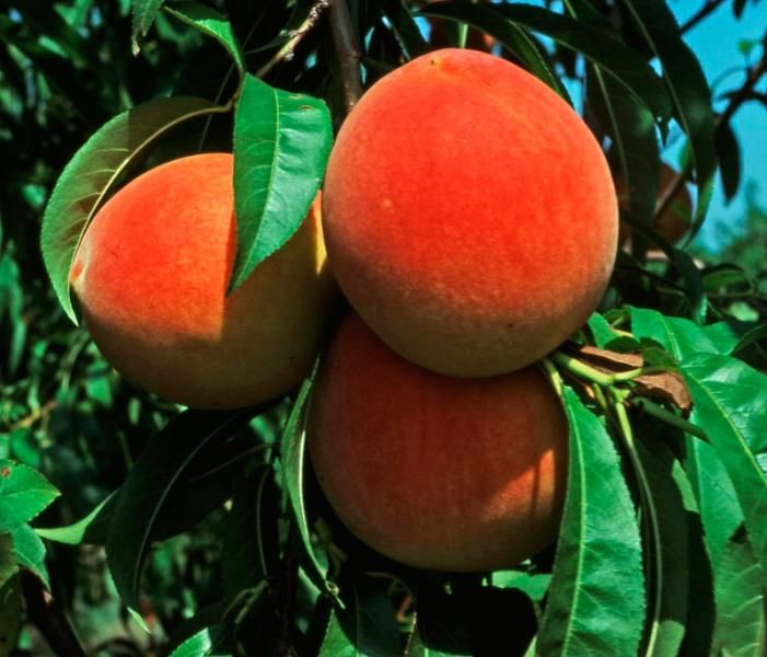Fresh Peach Slices Picture | Free Photograph | Photos