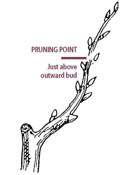 Pruning Pear Trees - Stark Bro's