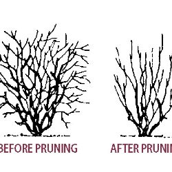 Pruning Blueberries