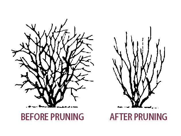 Pruning Blueberry Plants Stark Bro S