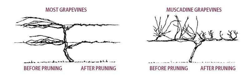 Pruning grape vines stark bro 39 s - How to prune and train the grapevine ...