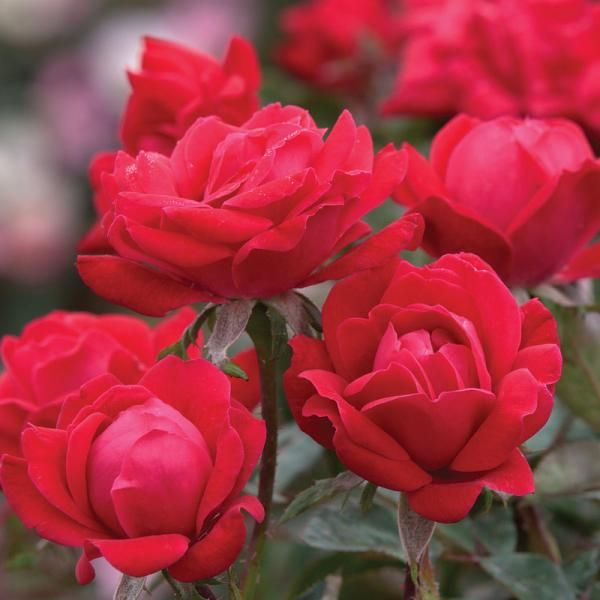 Double Knock Out 174 Rose Roses Stark Bro S