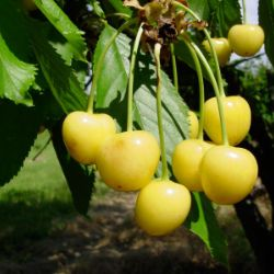 Photo of Stark® Gold™ Sweet Cherry