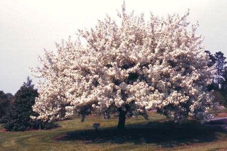 Spring snow flowering crabapple flowering trees stark bros spring snow flowering crabapple mightylinksfo