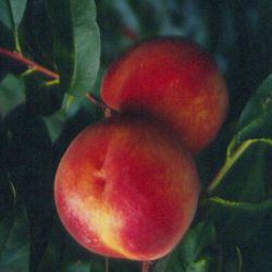 Autumnstar® Peach