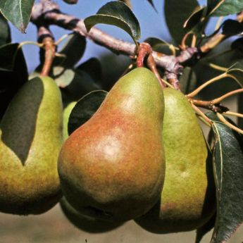 European Pear Trees