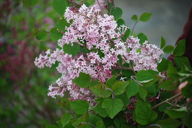 Josee Reblooming Lilac Lilacs Stark Bro S
