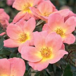 Rainbow Knock Out® Rose