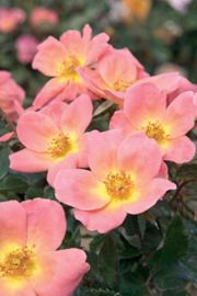 Roses From Stark Bro S Rose Bushes For Sale