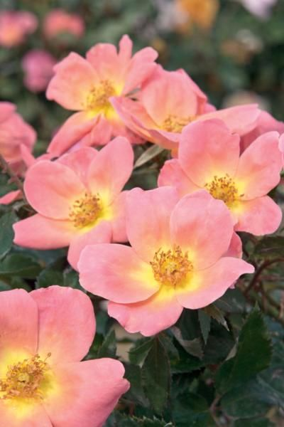 Rainbow Knock Out 174 Rose Roses Stark Bro S
