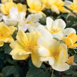 Photo of Sunny Knock Out® Rose