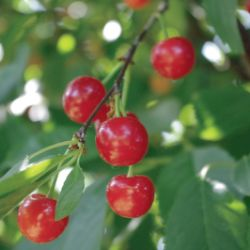 Stark® Montmorency Pie Cherry