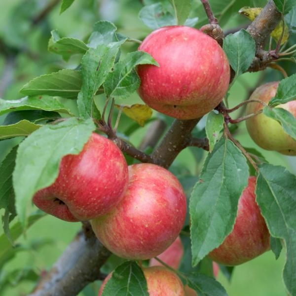 Crabapple Fruit On Tree