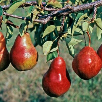 Red Pear Trees