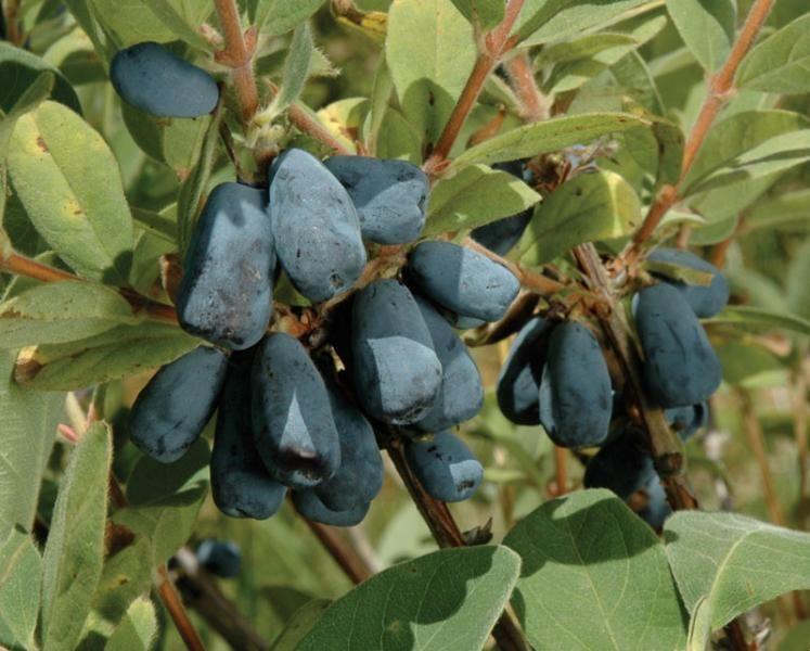 Blue Velvet Plant 19