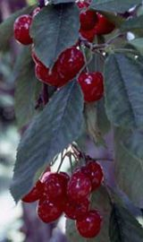 Starking® Hardy Giant™ Antique Sweet Cherry