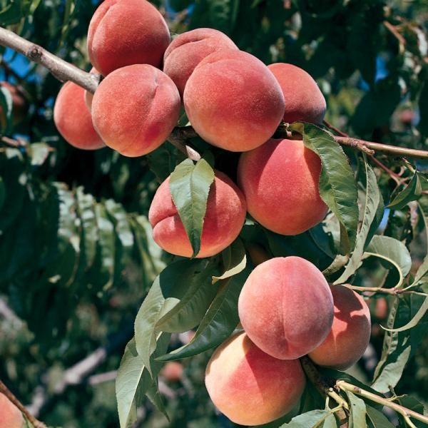 Burbank™ July Elberta Peach - Peach Trees - Stark Bro's