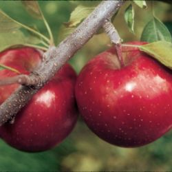 Stark® Super Red Fuji Apple