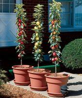 Columnar Fruit Trees From Stark Bro S