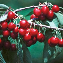 Photo of Van Sweet Cherry