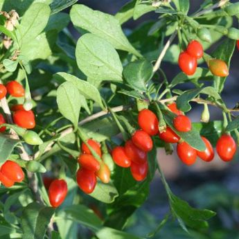 Goji Berry Plants From Stark Bro S Goji Berry Plants For Sale