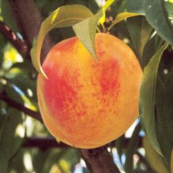 Catherina Peach