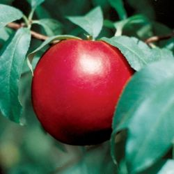 Photo of Stark® Crimson Snow™ Nectarine