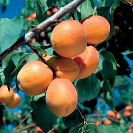 Photo of Goldcot Apricot