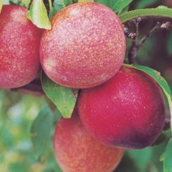 Photo of Burbank™ Elephant Heart Plum