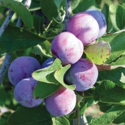 Photo of Damson Plum